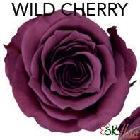 Piccola Blossom Rose / Wild Cherry