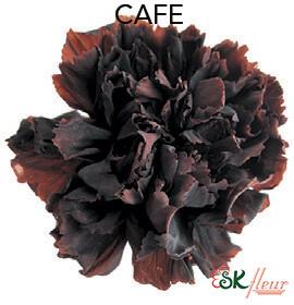 Mini Carnation / Cafe