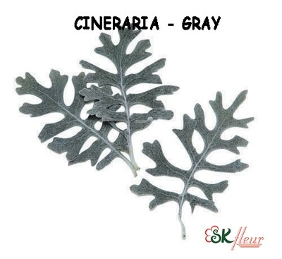 Cineraria / Gray