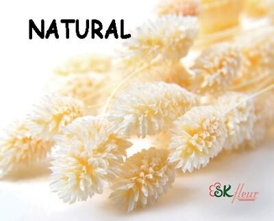 Phalaris DRIED / Natural