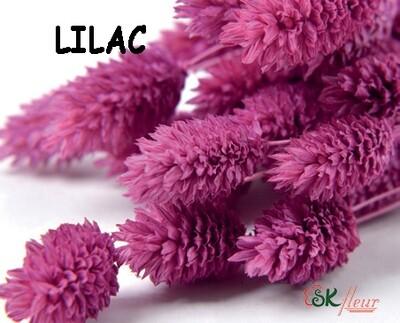 Phalaris DRIED / Lilac
