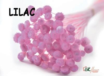 Amarelino DRIED / Lilac