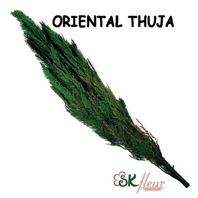 Oriental Thuja / Green