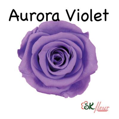 Mediana Rose / Aurora Violet