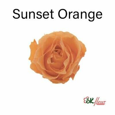 Piccola Blossom Rose / Sunset Orange