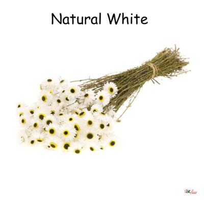 Acroclinium / Natural White
