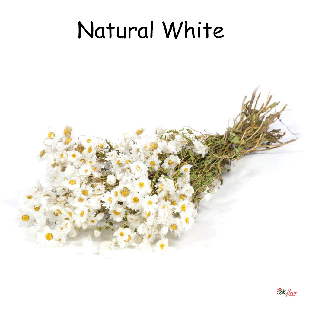 Rhodanthe / Natural White
