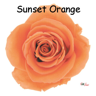Premium Rose / Sunset Orange