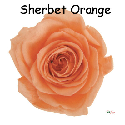 Premium Rose / Sherbet Orange