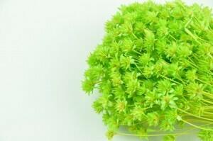Hill Flower / Pastel Light Green