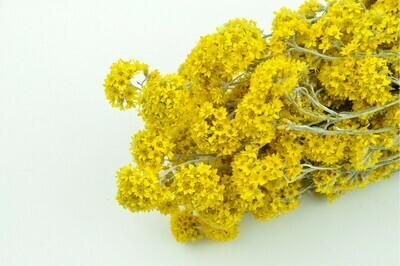 Sanfordii \ Natural Yellow