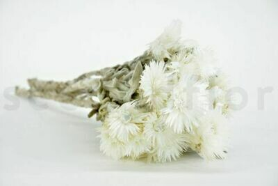 Capblumen / Natural White