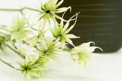 PRESERVED NIGELLA ORIENTALIS - GREEN
