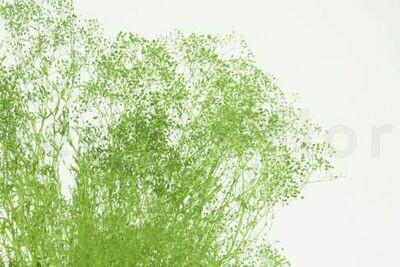 PRESERVED GYPSOPHILA - MINI - APPLE GREEN