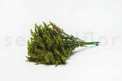 PRESERVED SOLIDAGO - GREEN