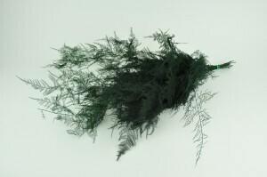 Asparagus  / Dark Green