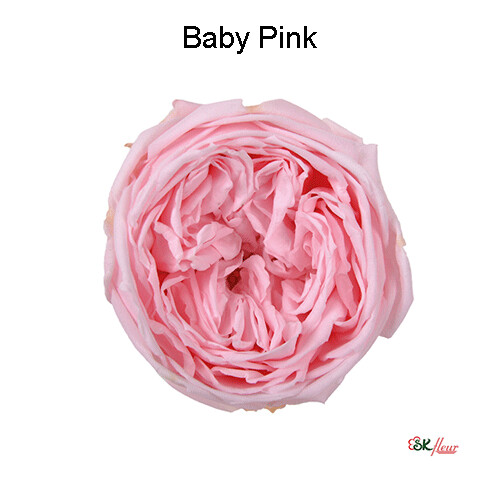 Garden Rose Catherine / Baby Pink