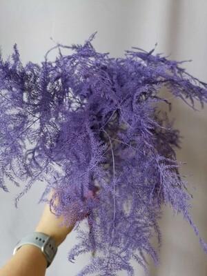 Аспарагус фиолетовый плюмозус стабилизированный