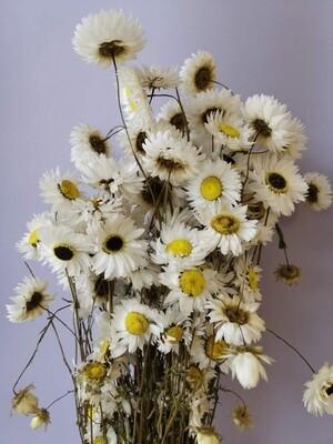 Акролиниум белый сухоцвет