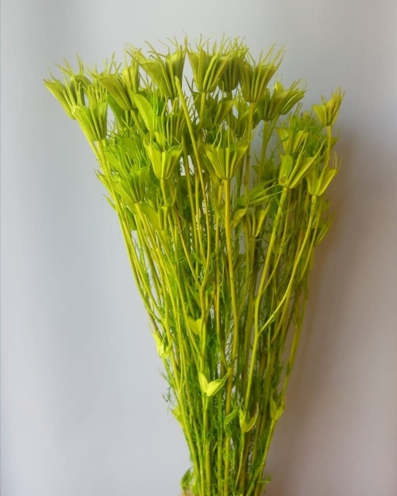 Нигелла салатовая