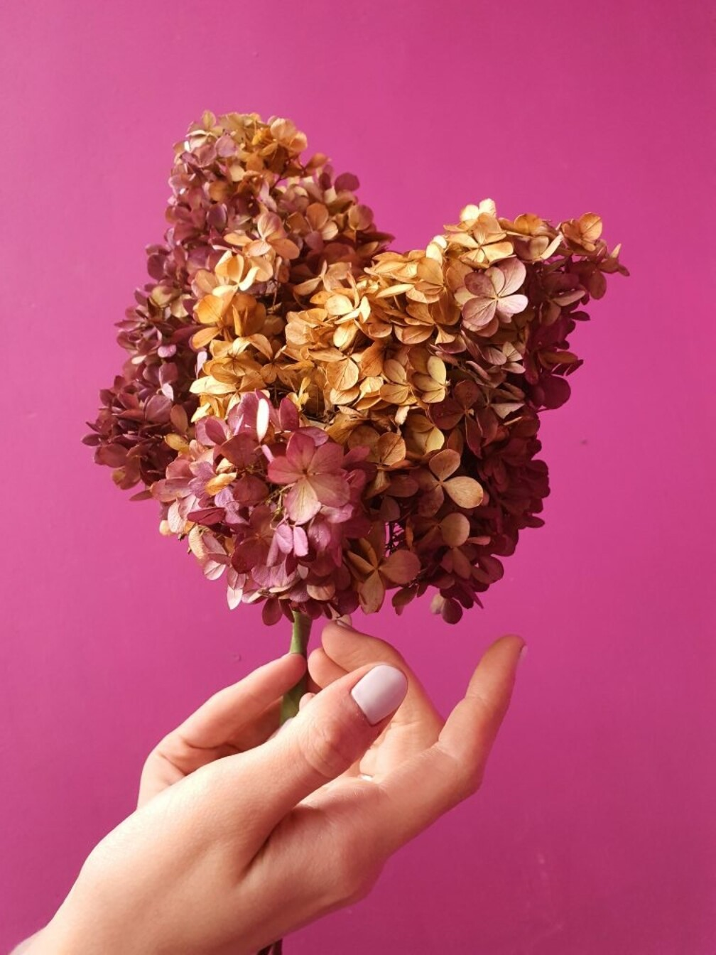 Hydrangea dried flowers