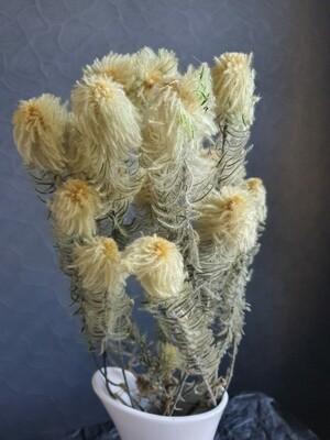 Еловое растение стабилизированное пушистое