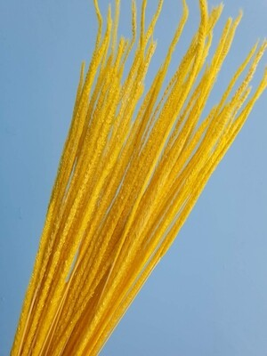 Flum alopecurus yellow dried