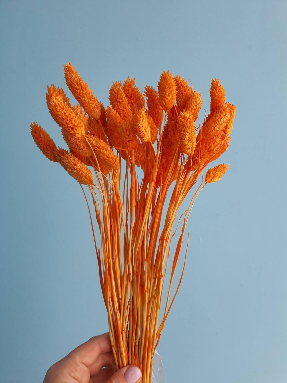 Фалярис оранжевый