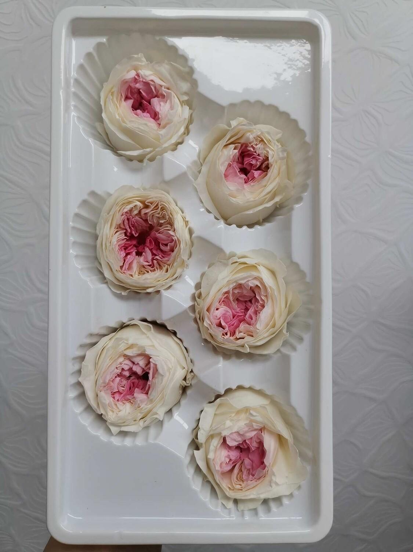 Роза кремовая с розовой серединой 4-5см пионовидная стабилизированная