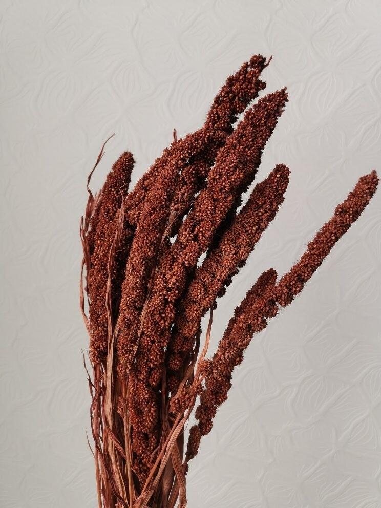 Сетария коричневая