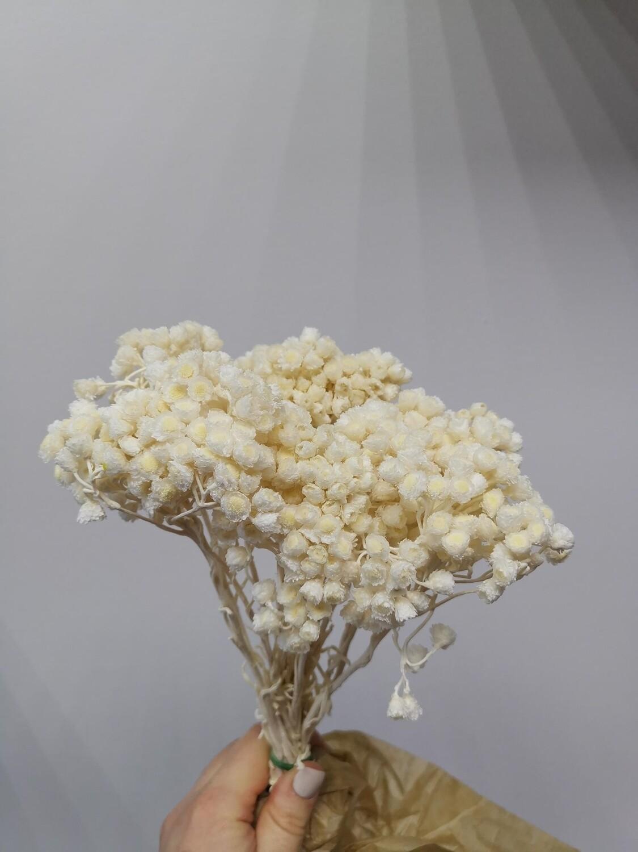 Бессмертник белый сухоцвет