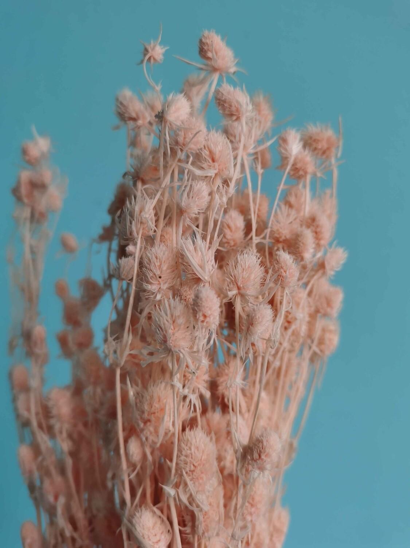 Синеголовник розовый нежный стабилизированный