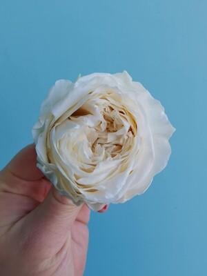 Роза белая молочная 4-5см пионовидная стабилизированная