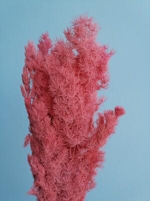 Аспарагус коралловый стабилизированный