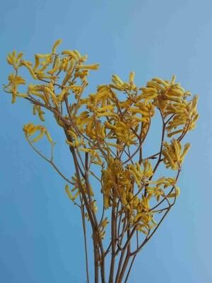 Анигозантус желтый стабилизированный