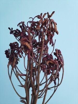 Анигозантус бордовый стабилизированный