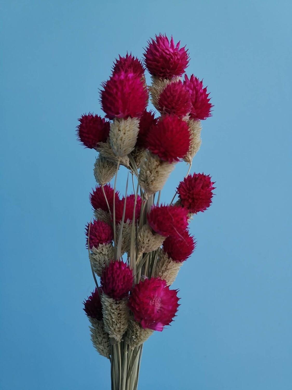 Гомфрена головки на стебле малиновая