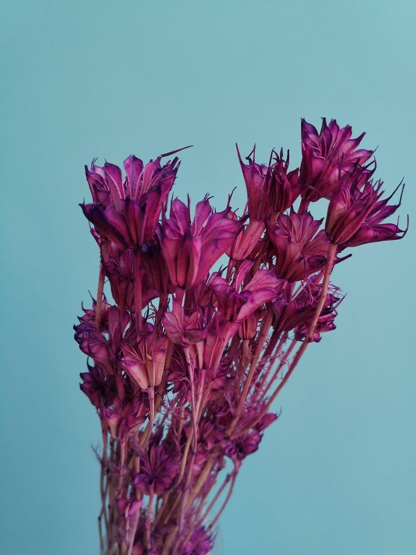 Нигелла сухоцвет фиолетовая