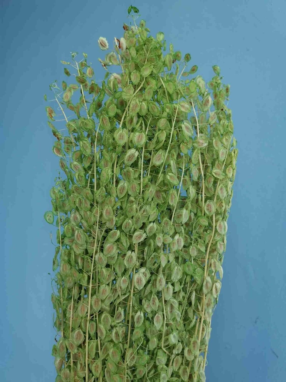 Stabilized green bell plant or shepherd's purse