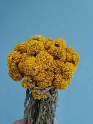 Гелихризум желтый мелкий сплендидум