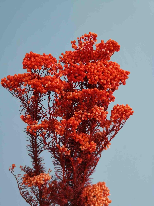 Озотамнус оранжевый стабилизированный