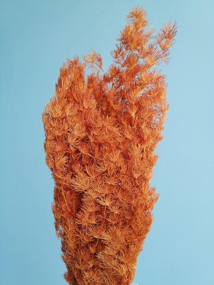 Asparagus dark orange stabilized