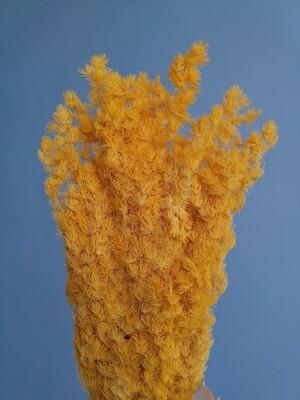 Аспарагус жёлтый стабилизированный