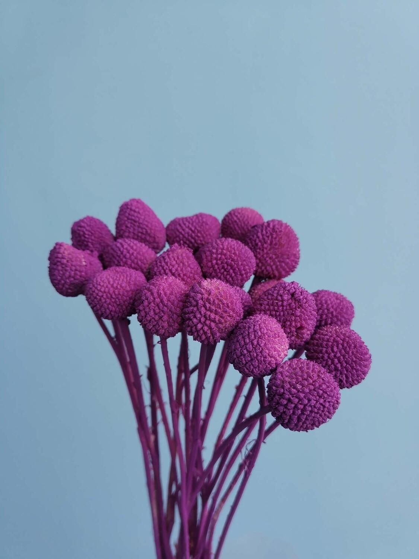 Краспедия цвет темная орхидея стабилизированная