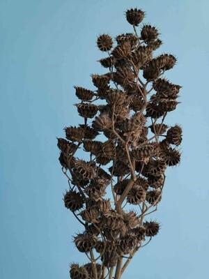 Канатник натуральный сухоцвет