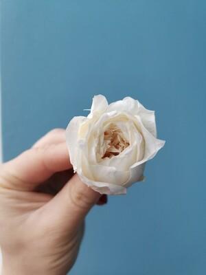 Роза белая молочная 3-3,5см пионовидная стабилизированная