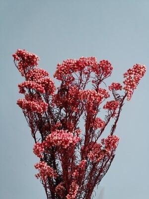 Озотамнус красно-розовый стабилизированный