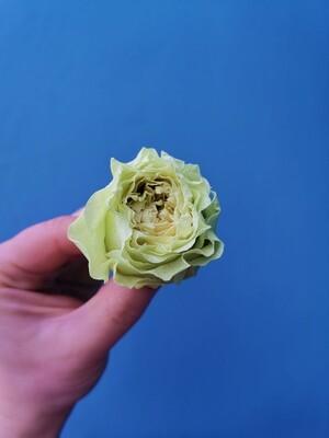 Роза салатовая 4см пионовидная стабилизированная