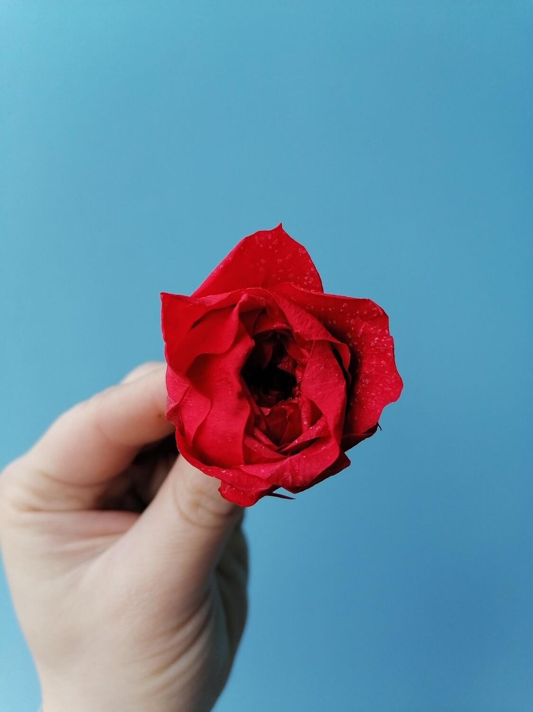 Роза красная 4см пионовидная стабилизированная