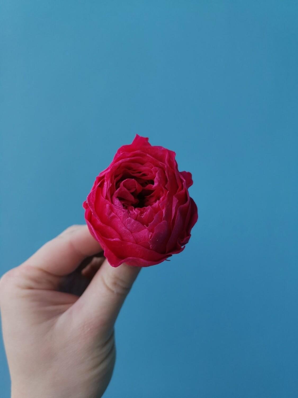 Роза малиновая 4см пионовидная стабилизированная
